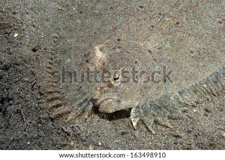 Leopard flounder (Bothus pantherinus) on sandy bottom - stock photo