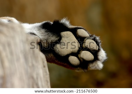 Leopard Foot Panther Panthera pardus - stock photo