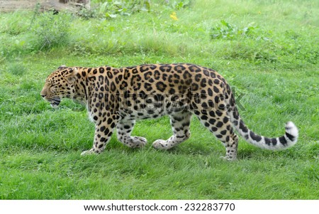 Leopard full length profile view in grass - stock photo