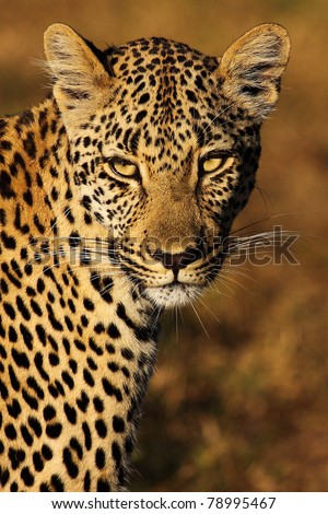 Leopard gazing with golden eyes