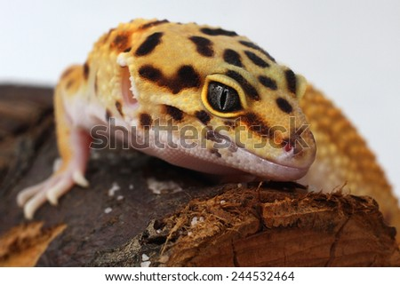 Leopard gecko Eublepharis macularius - stock photo