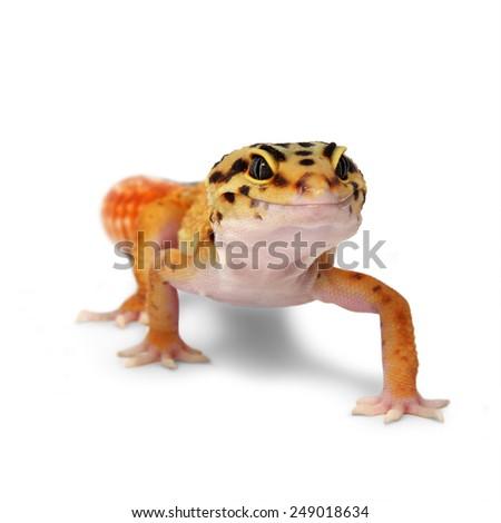 Leopard gecko Eublepharis macularius isolated on white background - stock photo