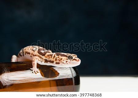 Leopard Gecko on a beer bottle - stock photo