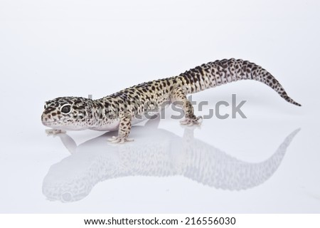 Leopard Gecko on white background