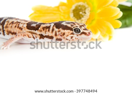 Leopard Gecko with a flower, shot with copyspace below - stock photo