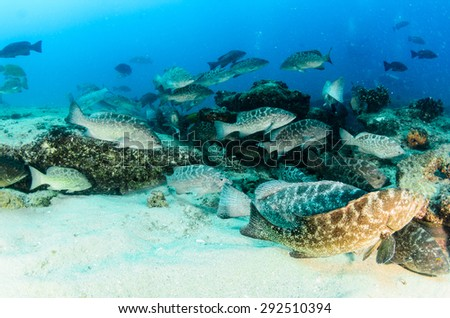 Leopard grouper (Mycteroperca rosacea), group feeding from the reefs of the Sea of Cortez, Pacific ocean. Cabo Pulmo National Park, Baja California Sur, Mexico. Cousteau named it The world's aquarium. - stock photo