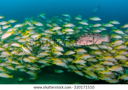 Leopard grouper (Mycteroperca rosacea), in a school of fish, reefs of the Sea of Cortez, Pacific ocean. Cabo Pulmo National Park, Baja California Sur, Mexico. Cousteau named it The world's aquarium. - stock photo