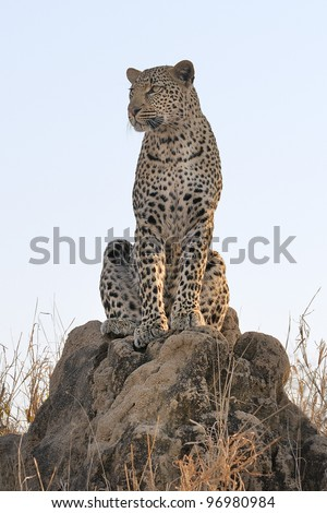 Leopard hunting in Sabi Sands area of South Africa - stock photo