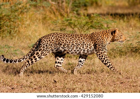 Leopard hunting in the wild - stock photo