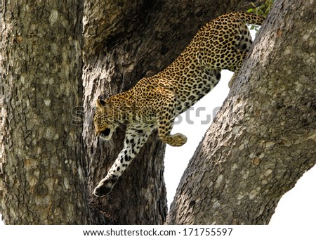 Leopard in a tree jumping from one branch to another