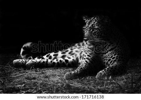 Leopard in Black and White - stock photo