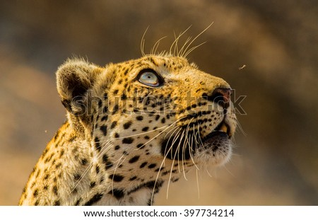 leopard in bush - stock photo