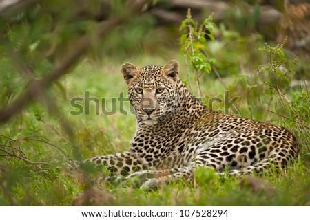 leopard in masai mara, looking in camera - stock photo