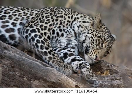 Leopard in Mashatu Game Reserve, Botswana, Africa - stock photo