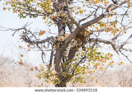 Leopard in mopane tree. Etosha national park, Namibia, Africa - stock photo