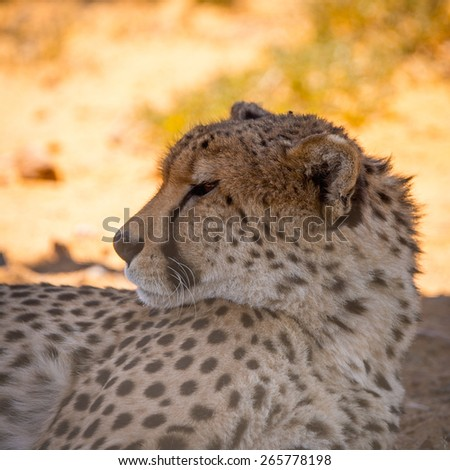 Leopard in South Africa - stock photo