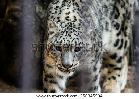 Leopard in the cage