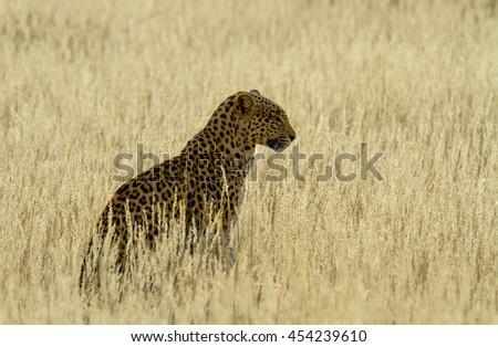 leopard in the Kalahari - stock photo