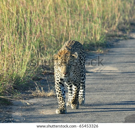 Leopard in the Kruger Park, South Africa. - stock photo