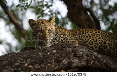 Leopard in the sunlight.  - stock photo