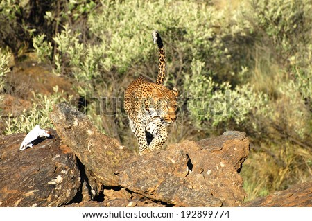 Leopard in the Wild - Namibia - stock photo