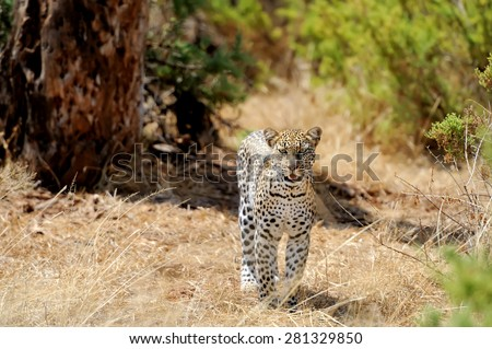 Leopard in the wild. National park of Kenya