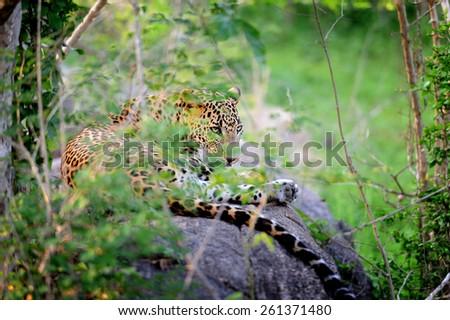 Leopard in the wild on the island of Sri Lanka - stock photo