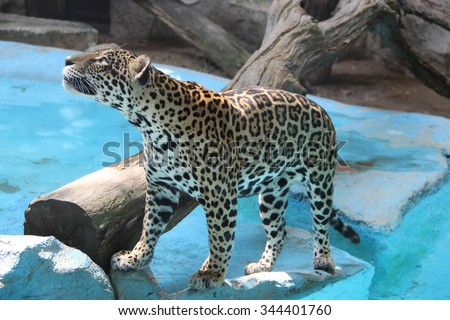 Leopard in the zoo in Thailand