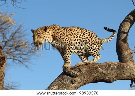 Leopard in tree - stock photo