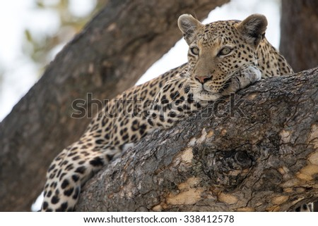 Leopard in tree in afternoon light. Moremi National Park, Khwai area.