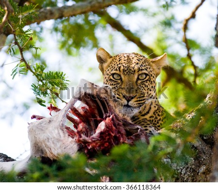Leopard is eating prey on the tree. National Park. Kenya. Tanzania. Maasai Mara. Serengeti. An excellent illustration.