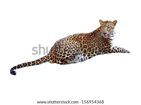 Leopard isolated on white background - stock photo