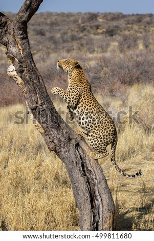 leopard jumping on a tree