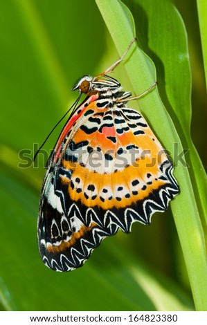 leopard lacewing butterfly close up