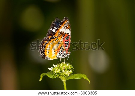 Leopard Lacewing Butterfly on Flower - stock photo
