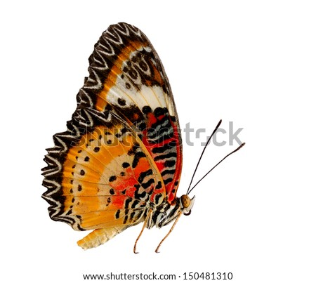Leopard Lacewing butterfly on side profile with natural color on white background