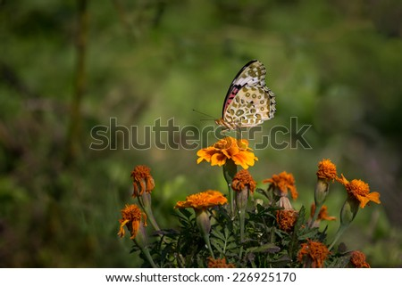 Leopard Lacewing butterfly, Ranthambore - stock photo