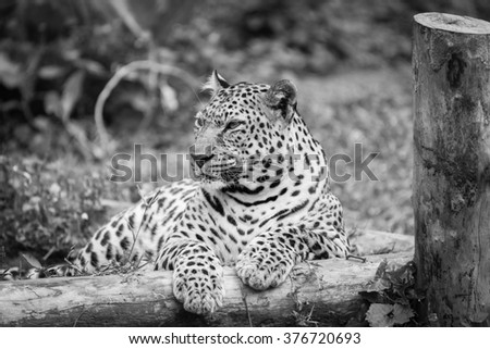 Leopard laid down portrait at zoo.  black and white
