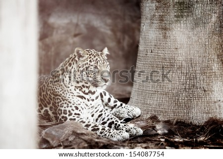Leopard laying in the shade of tree - stock photo