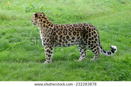 Leopard looking away full length showing spots on fur - stock photo