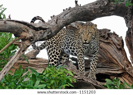 Leopard looking out from tree stump