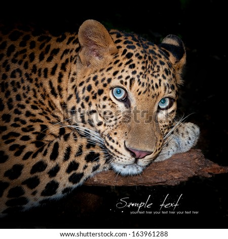 Leopard lying on a log. - stock photo