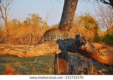 Leopard lying relaxed on the tree - stock photo