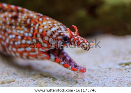 Leopard moray eel in detail - stock photo