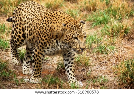 Leopard Namibia 1