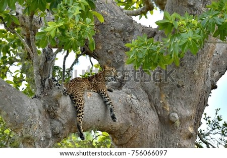 Leopard on a tree. The Sri Lankan leopard (Panthera pardus kotiya)