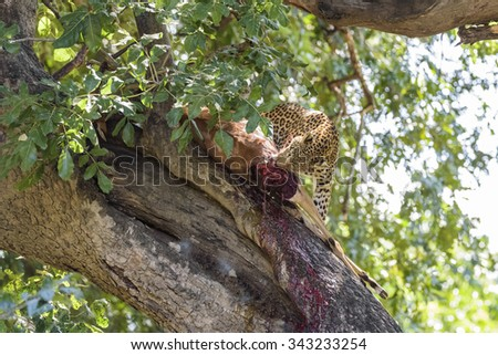 Leopard on a Tree with a Kill