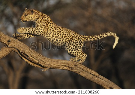 Leopard on Branch - stock photo