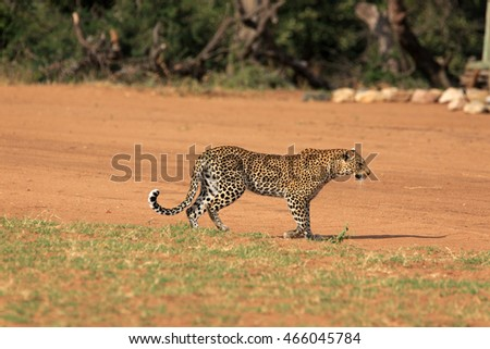 Leopard on the airstrip