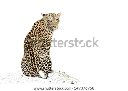 Leopard on white background - stock photo